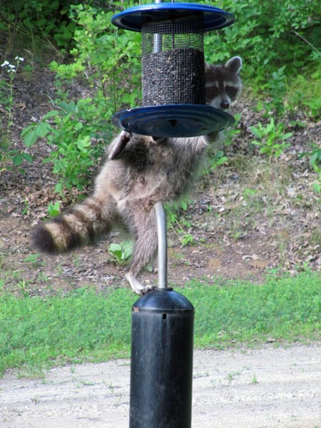Raccoon Raiding Feeder